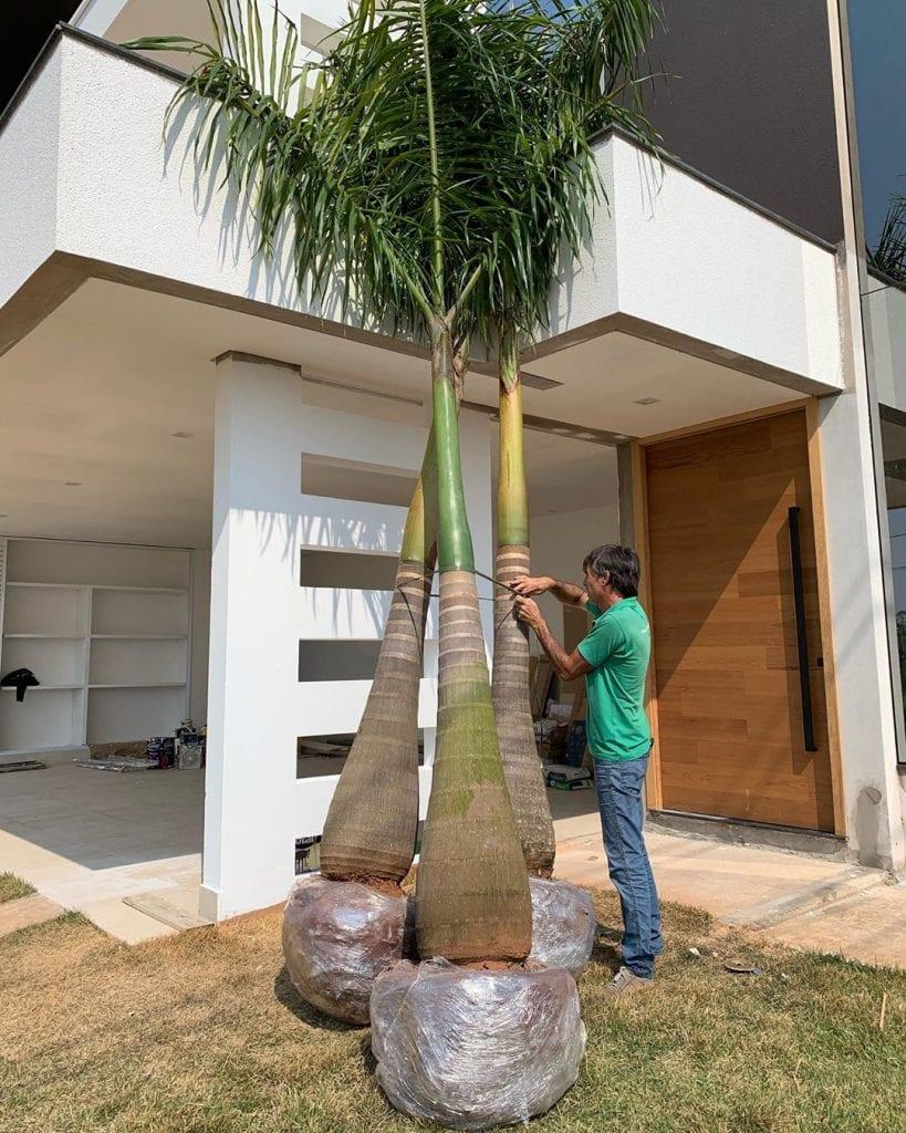 palmeira-imperial-jardim