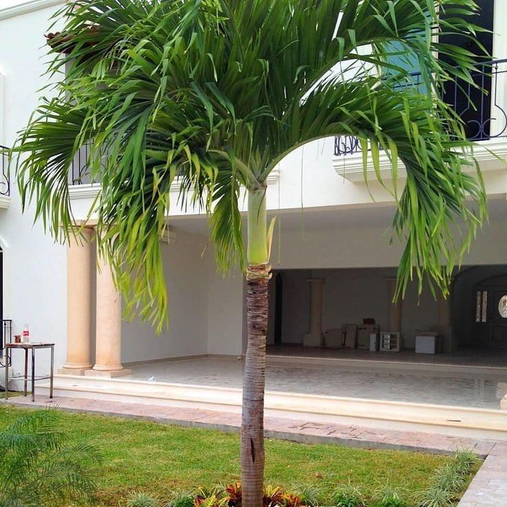 palmeira imperial jardim paisagismo fachada casa