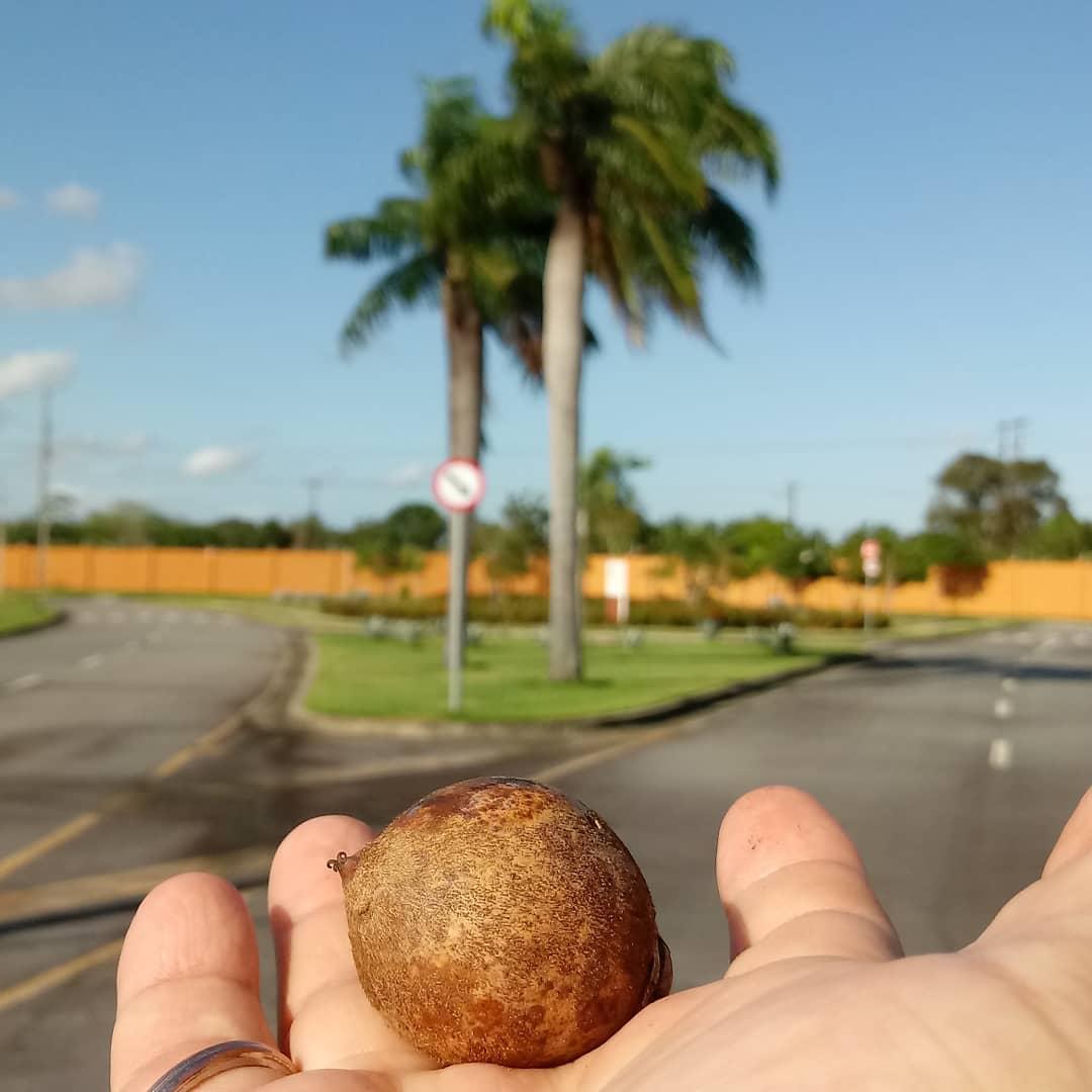 palmeira imperial semente
