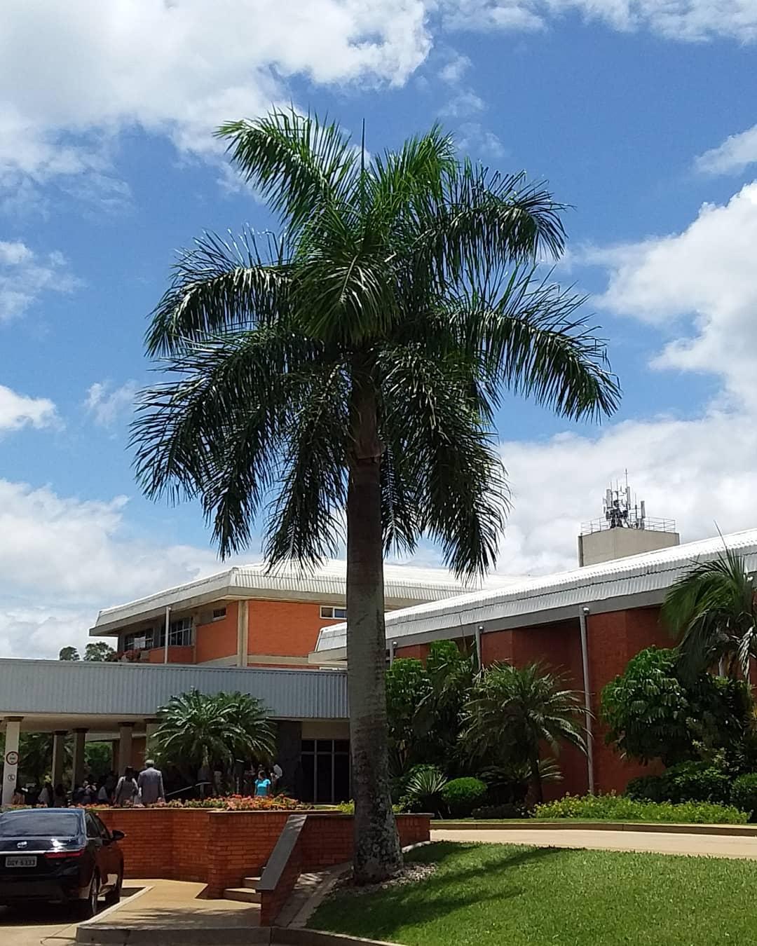 palmeira imperial paisagismo jardim