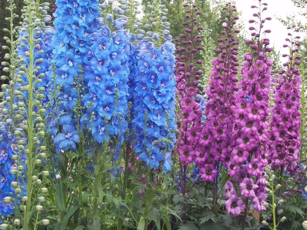 flor esporinha jardim