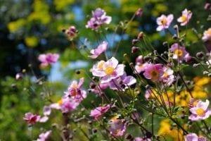 flor anemona japonesa