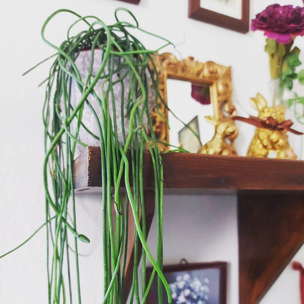 ripsalis planta para sala